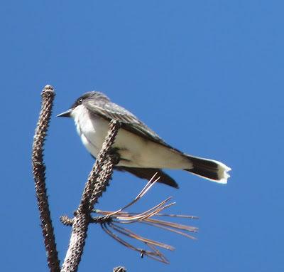 a kingbird