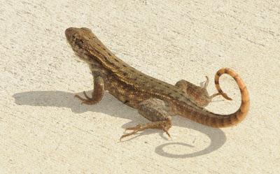 Northern Curlytail Lizard (Leiocephalus carinatus armouri)