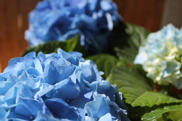 Hortensien Liebe in Blau