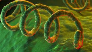 La bactérie responsable de la syphilis  Photo :  Getty Images
