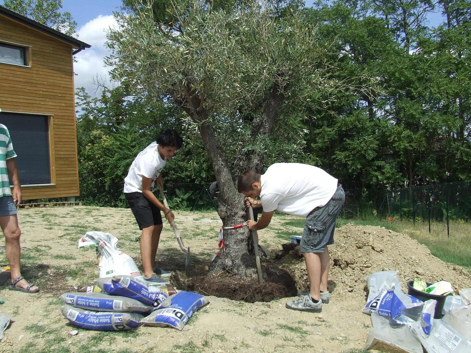 planter un olivier au jardin conseils en jardinage