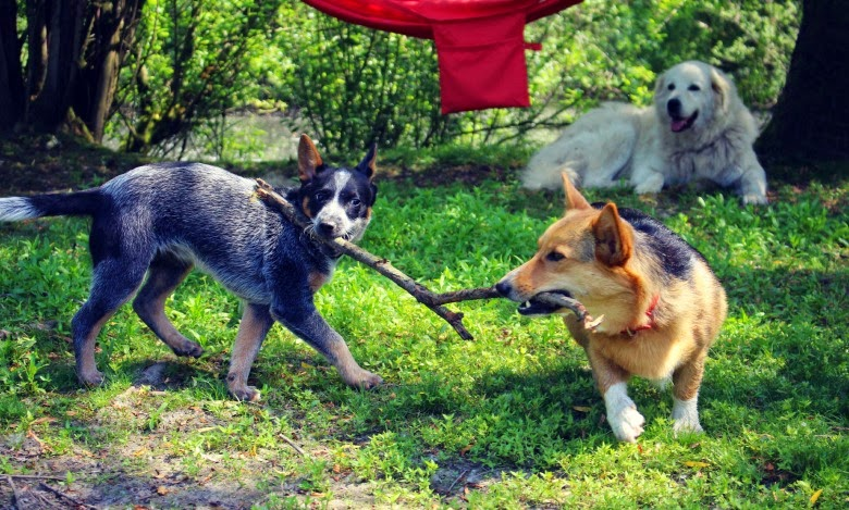 Dogs playing.