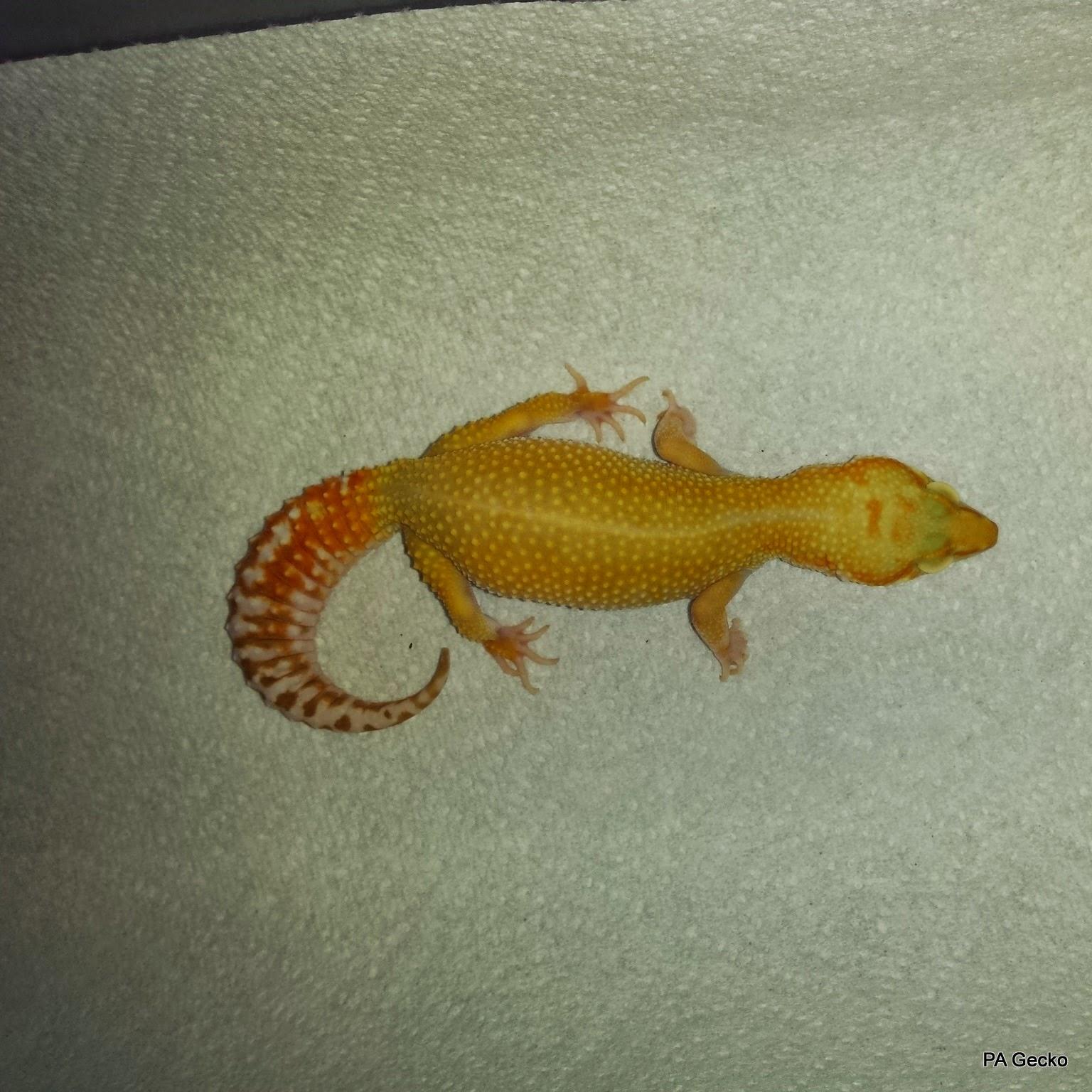 PA Gecko Sunglow Female