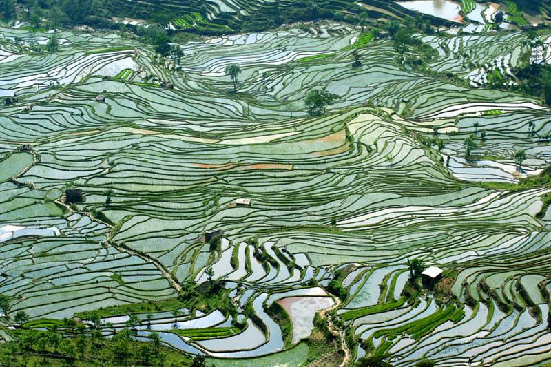 Terasasta polja  Pirincana-polja-9