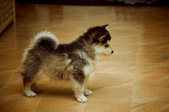 Are these the cutest dogs in existence? Pomskies are a husky