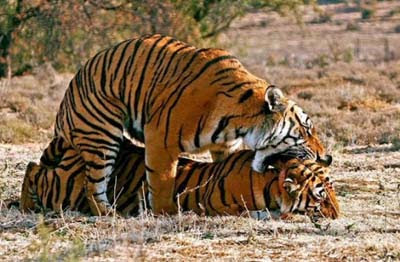 tiger make love