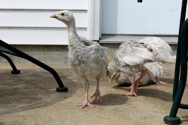 Baby Blue Slate turkey exploring the patio