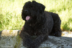 Egon - Bouvier des Flandres