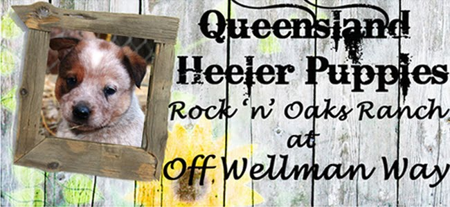 Queensland Heeler Puppy Dogs For Sale in Ventura County, Southern California Adorable!