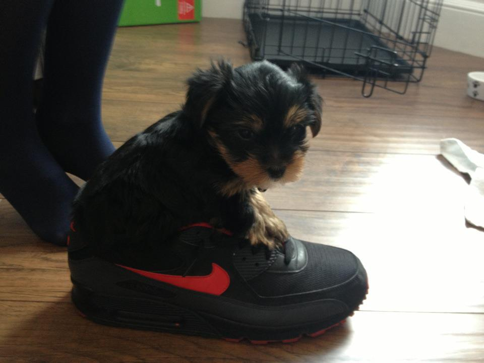 Tips for Teacup Yorkies owners