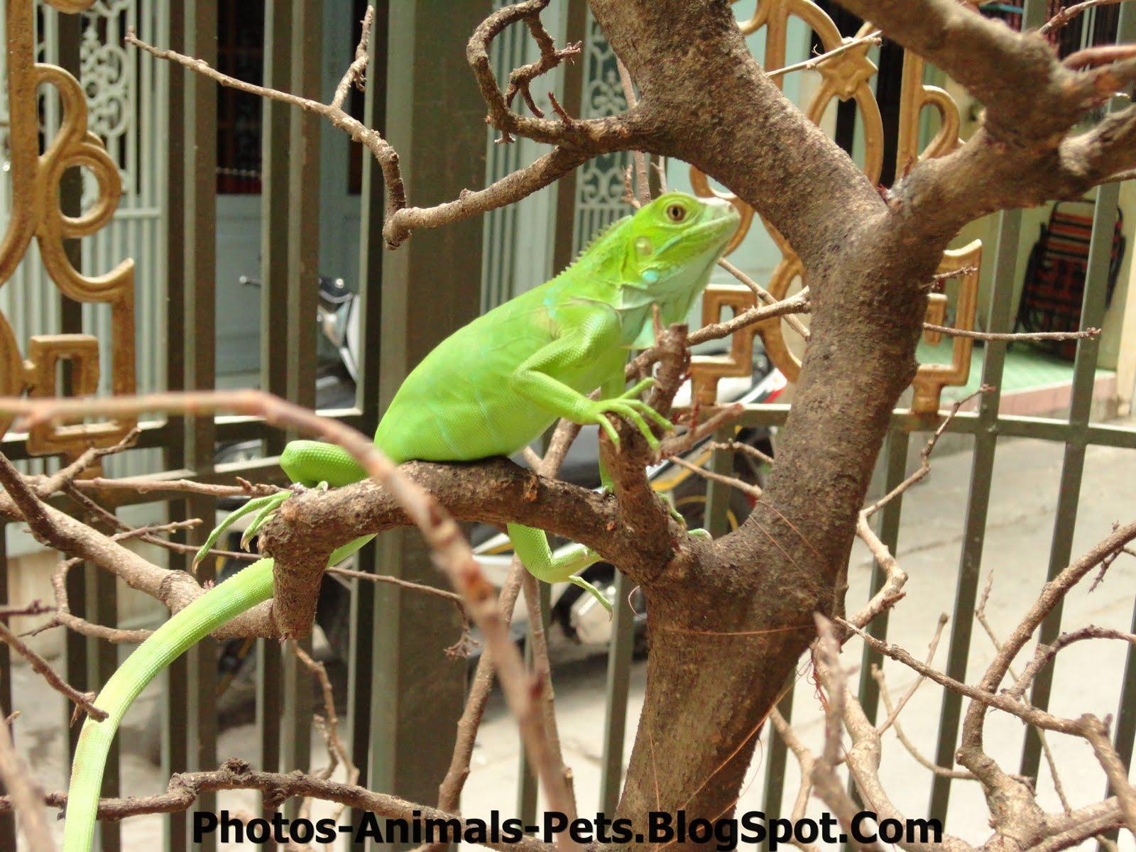 http://3.bp.blogspot.com/-RlEfB1zRnq8/TxG42ZXeJmI/AAAAAAAACvQ/fh3jHnbG3b8/s1600/Green%2BIguana.jpg