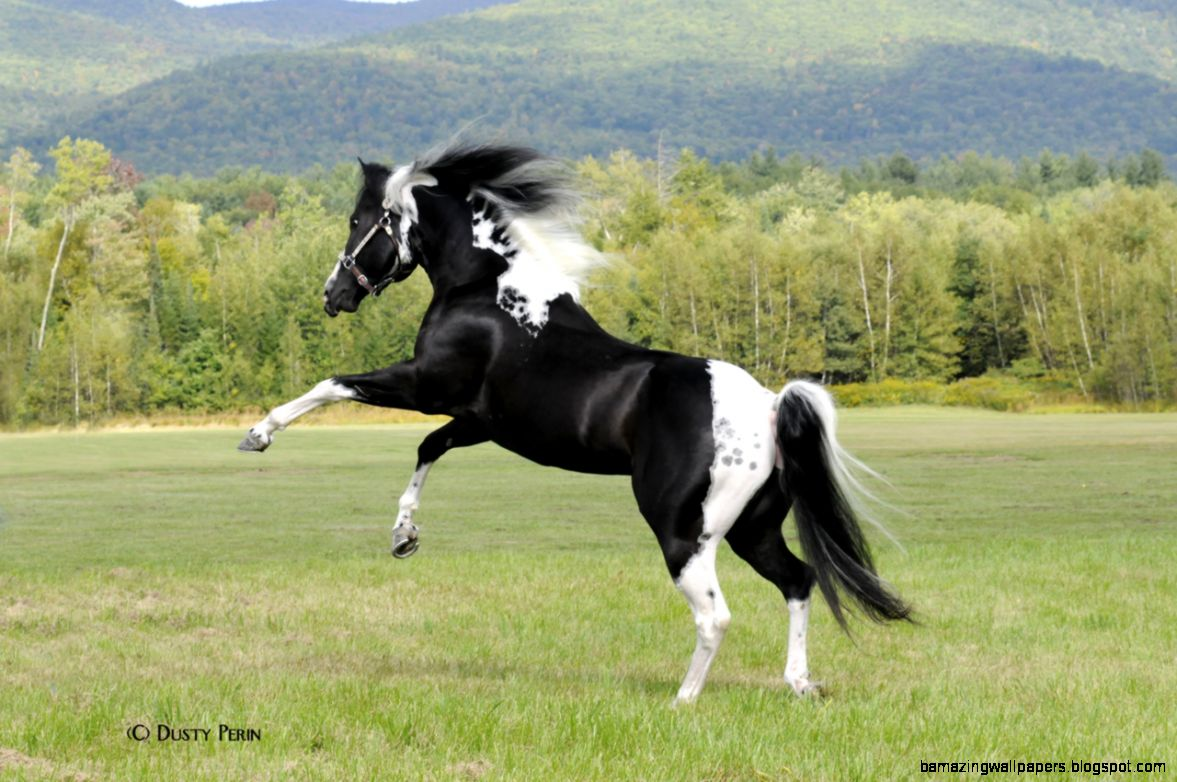View Original Size Gorgeous Black And White Stallion Of Paint Horse Running Stock Image Source From This