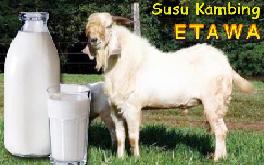kelebihan susu kambing etawa