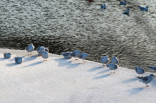 frozen lake in Copenhagen near Kastellet with birds and seagulls waling on the frozen ice viewed through trees