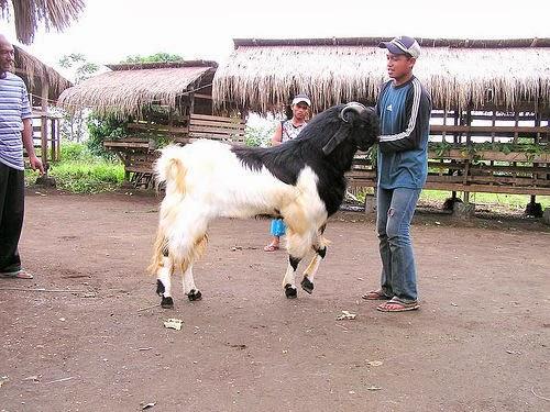 Harga hewan kurban tahun 2013