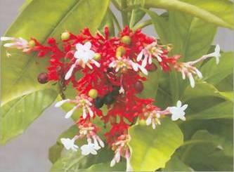 Sarpagandha Flower