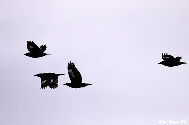 Crested Mynas in flight