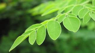 manfaat daun kelor, daun kelor, kesehatan