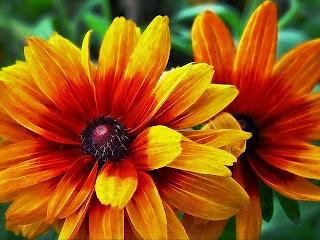 foto di margherite belle arancioni