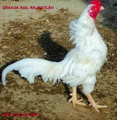 Entrevista al dr enrique tello garuz | Gallos de Pelea