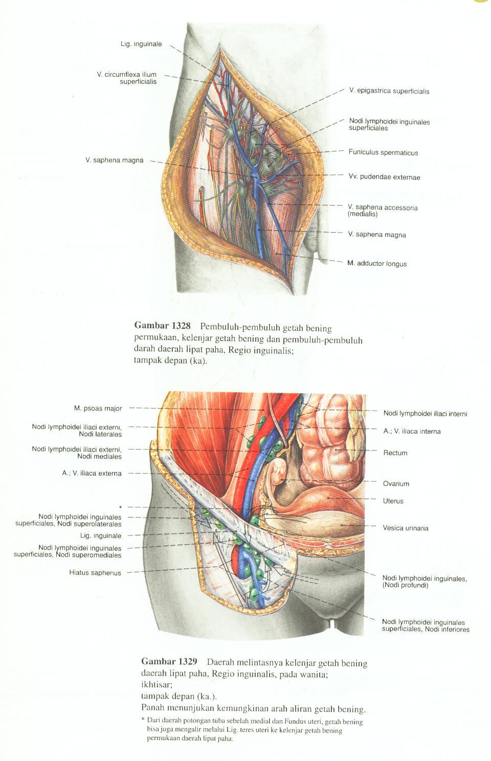 Lujo Ilíaca Interna Adorno - Anatomía de Las Imágenesdel Cuerpo ...