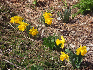 Daffodils Coming Up In Garden Bed With Dead Leaves Image