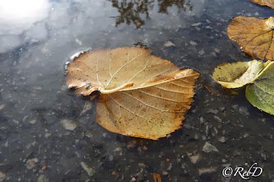 Höstlöv i vattenpöl, trädgrenar speglas på vattenytan. foto: Reb Dutius