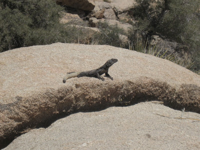 Lizard sunning on rock Joshua Tree National Park