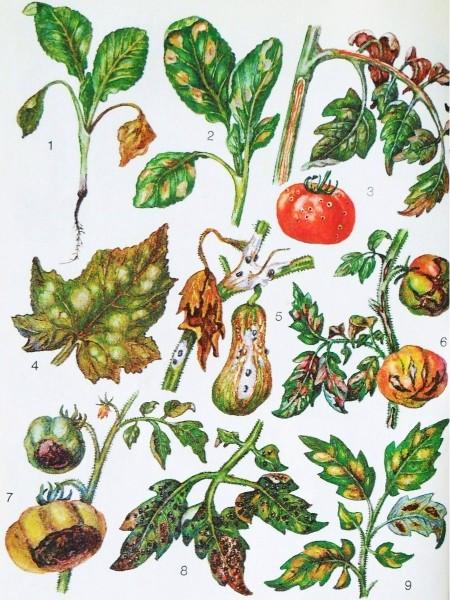Болезни капусты, помидоров, огурцов