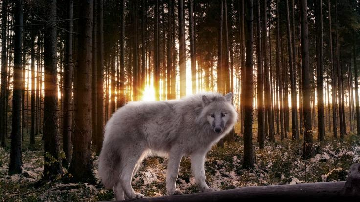 Shapeshifter | Fantasy | Pinterest | Native americans, Wolf and ...