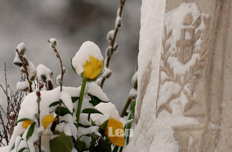Hó fedi a sárga rózsát és a húsvét egyik jelképét a barkát is