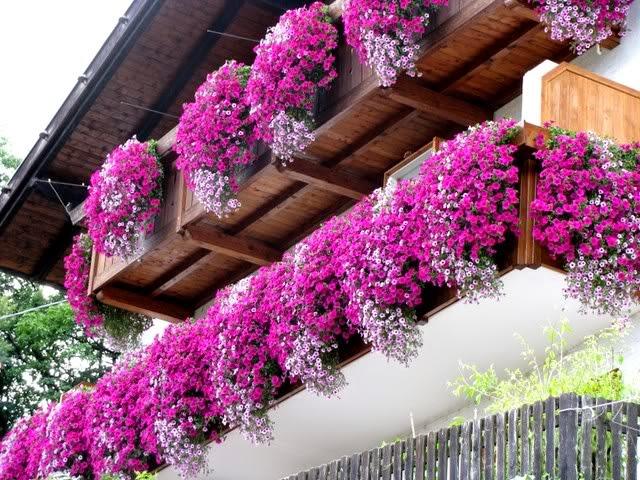 Giardinaggio laura ponte in valtellina petunie e surfinie for Surfinia balcone