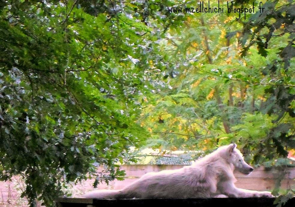 Loup-Blanc-Zoo-Pessac