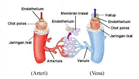 Pengertian, Fungsi dan Macam-macam Pembuluh Darah serta Perbedaan Pembuluh Arteri dan Vena