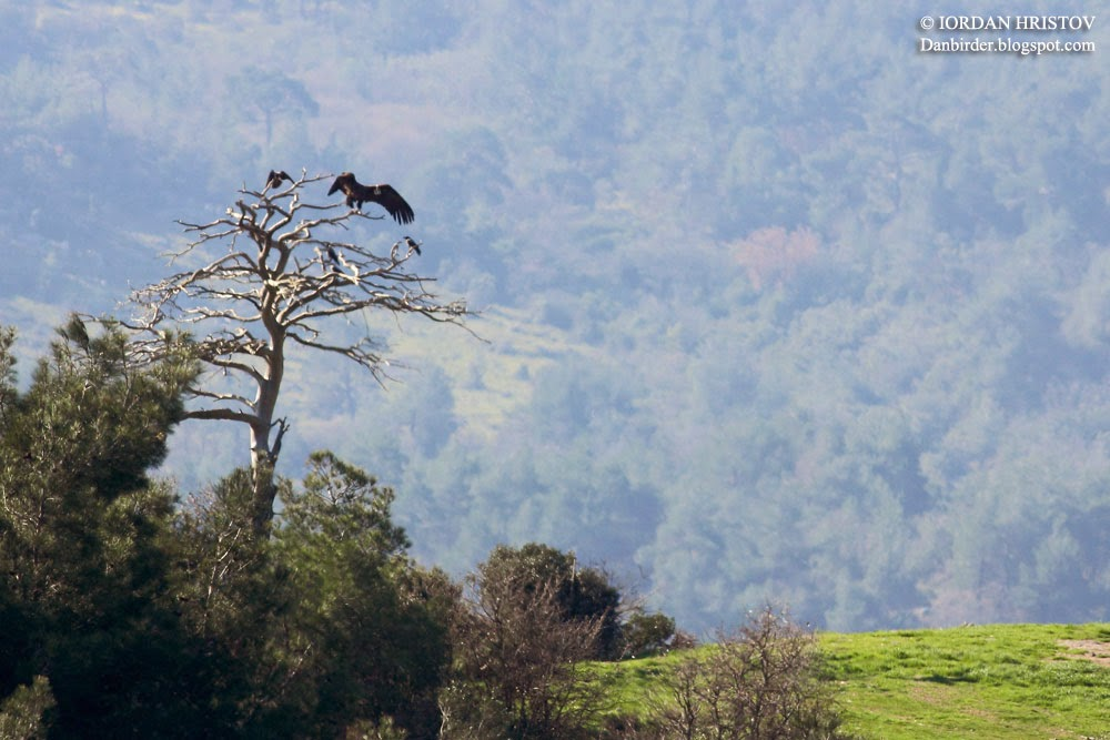 Black Vulture © Iordan Hristov