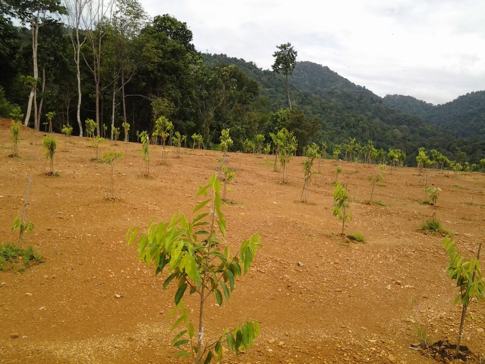 Pokok Gaharu Gred a Harga Pokok Gaharu Boleh