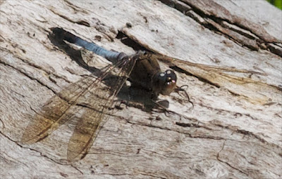 Blue Skimmer (Orthettrum caledonicum)