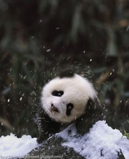 Beautiful panda.