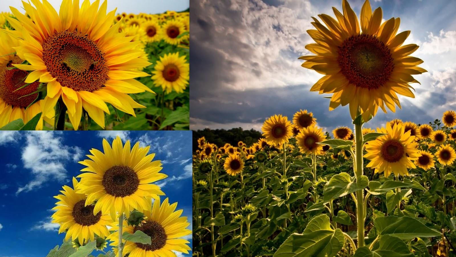 Flor del sol o girasol para curar el alma - Flores que aguantan el sol ...