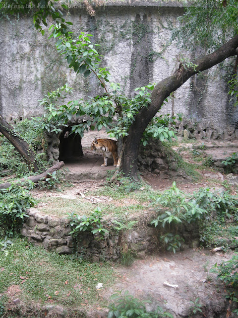 Tiger of Manila Zoo