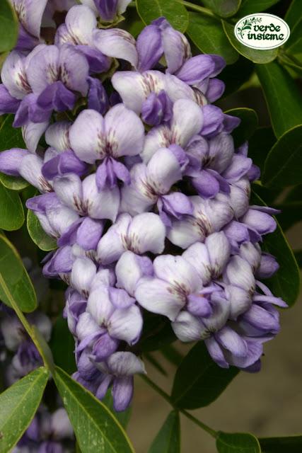 Sophora secundiflora fiori dal profumo stordente for Albero con fiori blu