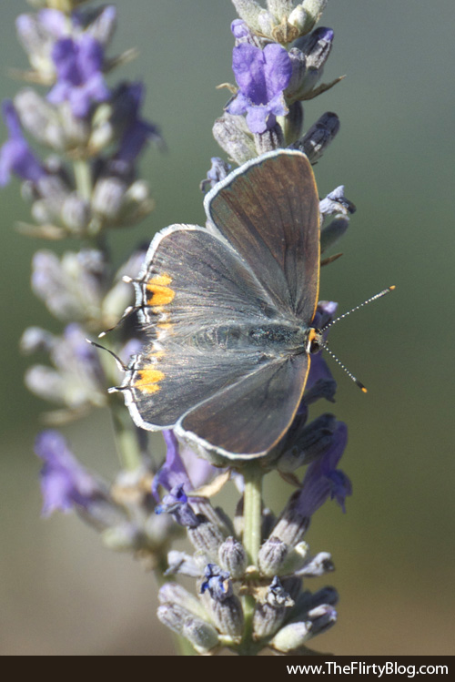 Female, Eastern Long-tailed Blue Butterfly