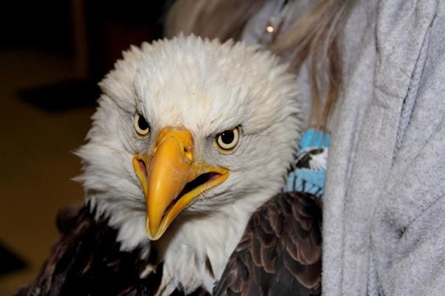 Utah eagles killed by West Nile virus (Video)