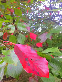 plant with bright red leaf