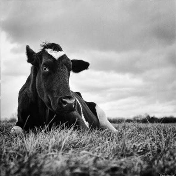 Fotógrafa norte-americana retrata animais que escaparam de matadouros