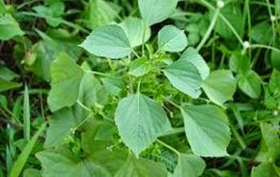 tanaman obat tradisional Anting-anting (Acalypha australis Linn.)