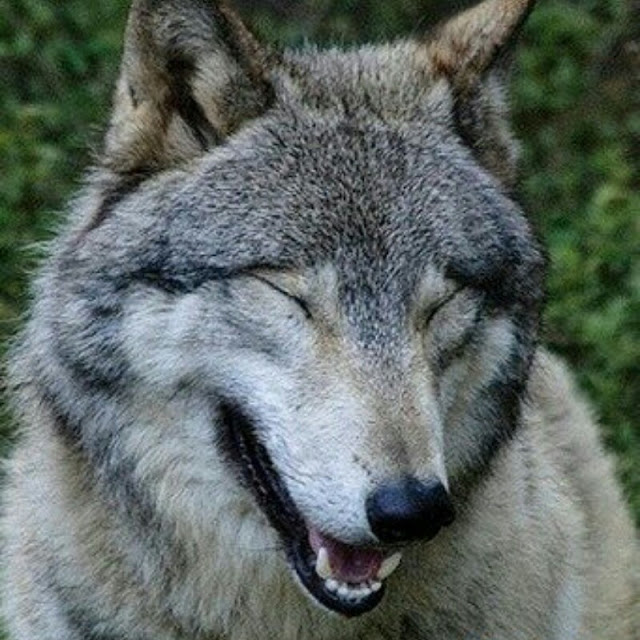 White Wolf 14 Funny Wolf Pictures That Will Put A Smile