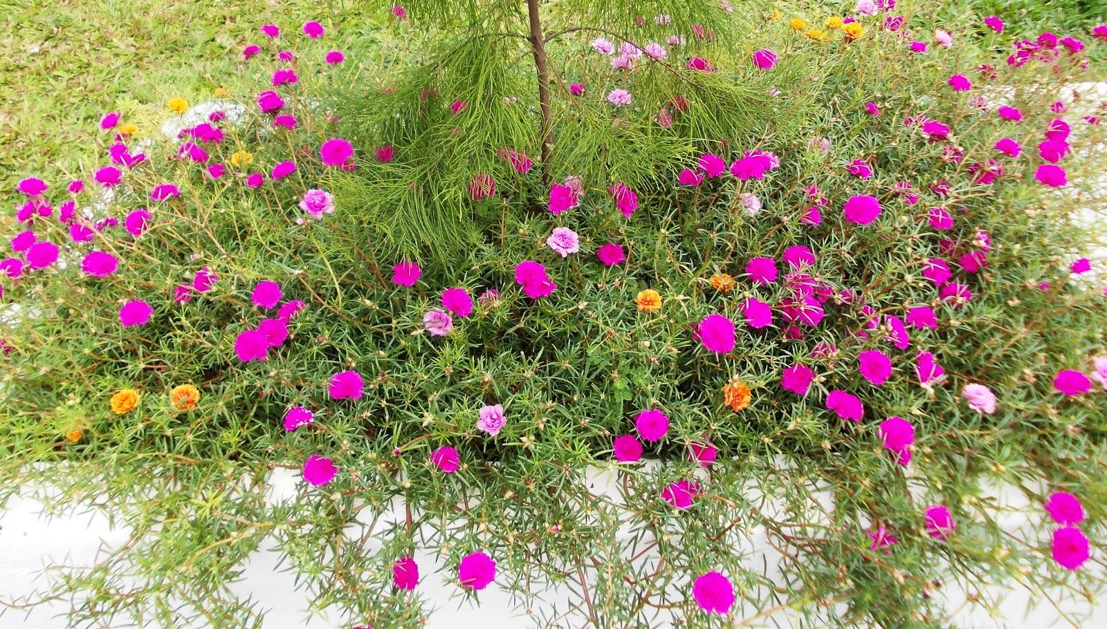 Portulaca Grandiflora Double Petal Mixed