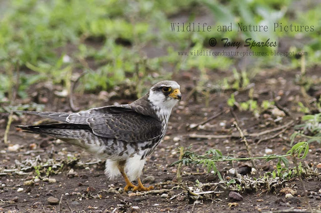 Wildlifes Afro Paleartic migrant - Amur Falcon one of natures wanders