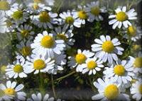 http://3.bp.blogspot.com/-RqN1J59blWE/T3w3xmAnDpI/AAAAAAAABOc/gphPno0D4UU/s200/camomilla.jpg
